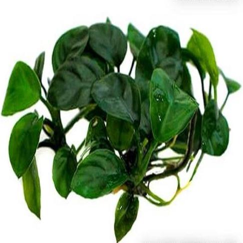 Planta Anubia Barteri Nangi