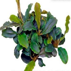 Planta Bucephalandra Lamandau Purple