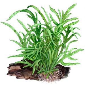 Planta Microsorum sp Trident
