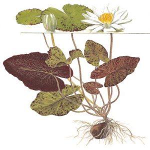 Planta Nymphaea Tigerlotus Red Zenkeri