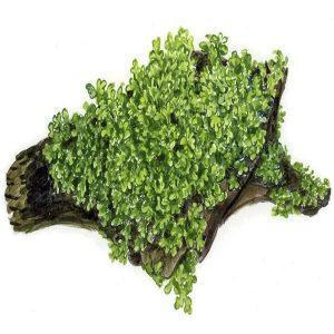 Planta Riccardia Chamedryfolia
