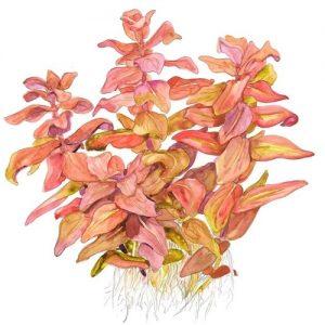 Planta Rotala Macandra