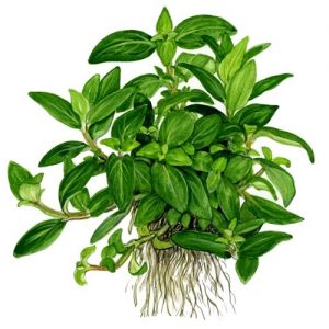 Planta Staurogyne repens