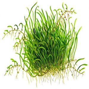 Planta Utricularia Graminifolia