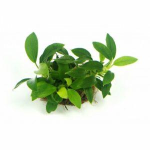 Planta anubias-barteri-bonsai