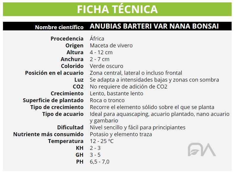 ANUBIAS BARTERI VAR NANA BONSAI