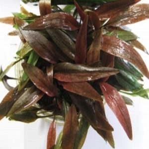 Planta cryptocorine-petchii-pink