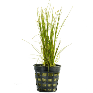 ELEOCHARIS ACICULARIS LIMITED