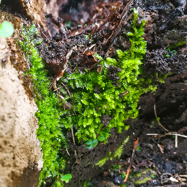 Riccardia Chamedryfolia   MINIPELLIA