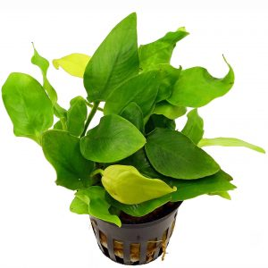 Planta Anubias Barteri Nana Golden