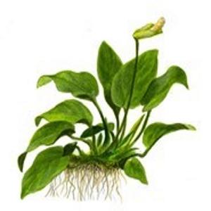 Planta Anubias Barteri Var Nana