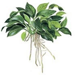 Planta Anubias Barteri Var Petite