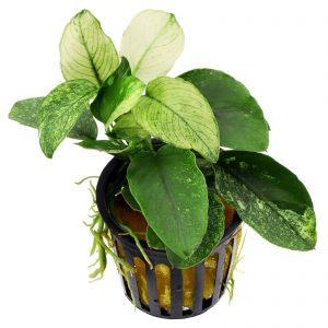 Planta Anubias SP White Pinto