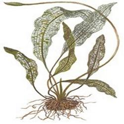 Planta Aponogeton Madagascariensis