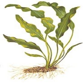 Planta Aponogeton Ulvaceus