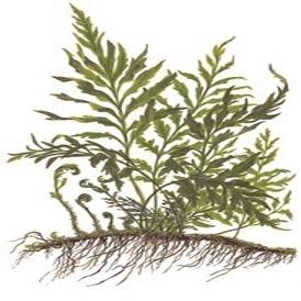 Planta Bolbitis Heudelotii