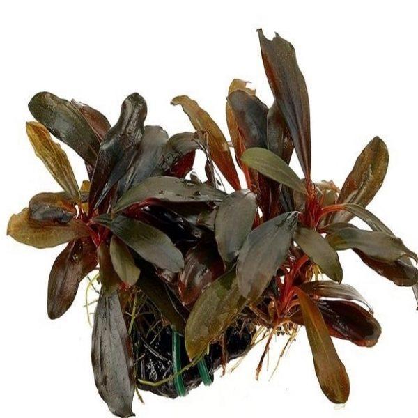Planta Bucephalandra Serimbu Brown