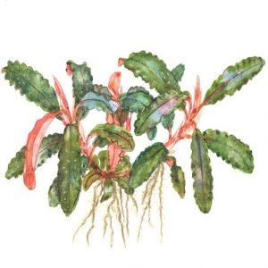 Planta Bucephalandra Sp Red