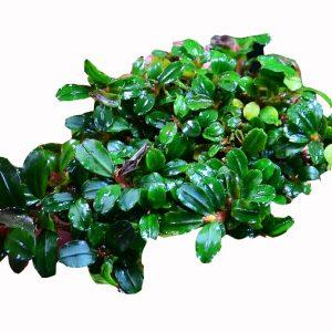 Planta Bucephalandra Spec Brownie
