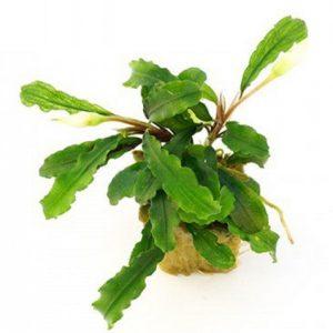 Planta Bucephalandra Biblis