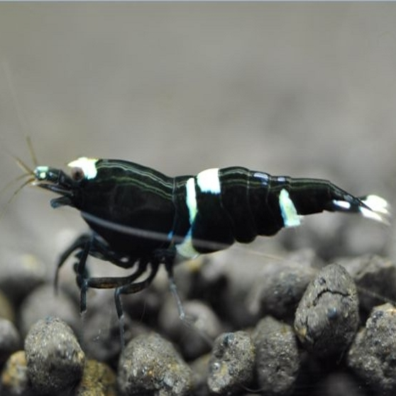 Gamba Caridina Black King Kong