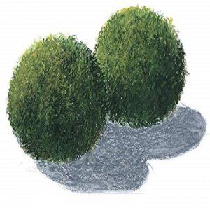 Planta Cladophora Aegagrophila