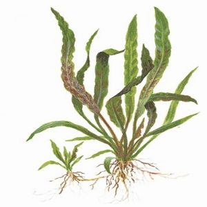 Planta Cryptocorine Albida Brown