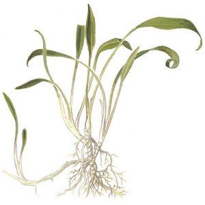 Planta Cryptocorine Parva