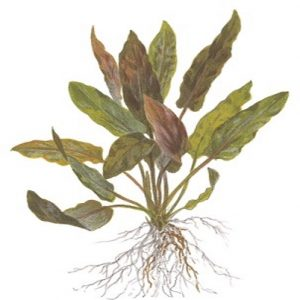 Planta Cryptocorine Undulatus Red