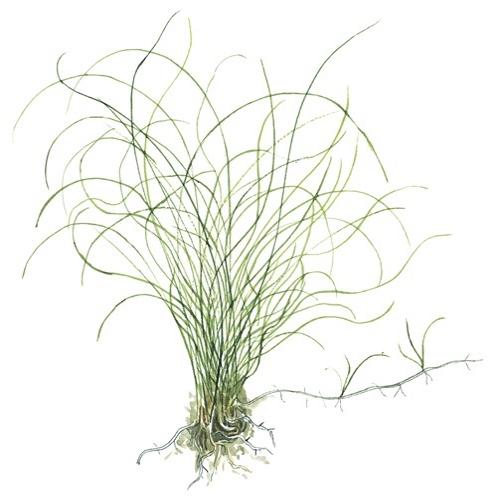 Planta Eleocharis Parvula