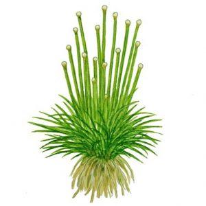 Planta Eriocaulon Cinereum