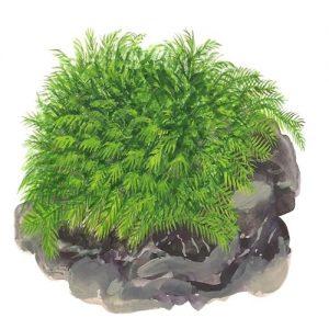 Planta Fissidens Fontanus