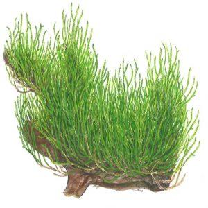 Planta Flame Moss