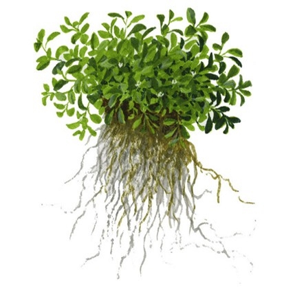 Planta Glossostigma Elatinoides