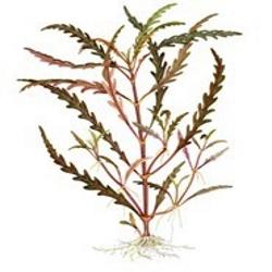 Planta Hygrophila Pinnatifida