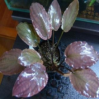 Lagenandra meeboldii pink una planta roja espectacular que puedes comprar online en nascapers.