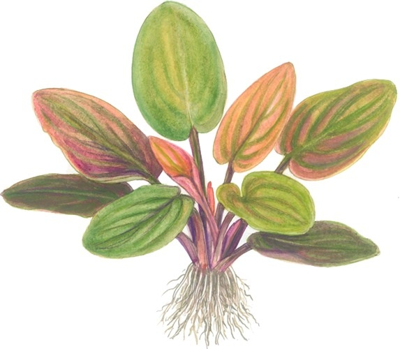 Planta Lagenandra Meeboldii Pink