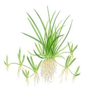 Planta Litorella Uniflora