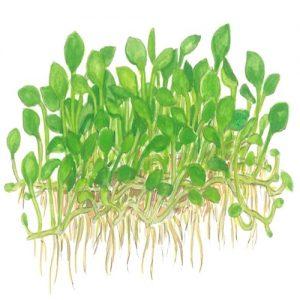 Planta Marsilea Crenata