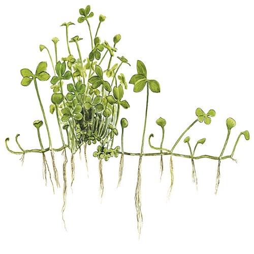 Planta Marsilea Hirsuta