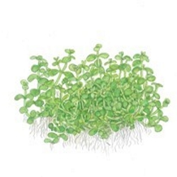 Planta Micranthemum Montecarlo