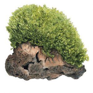 Planta Monosolenium Tenerum