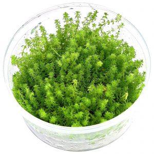 Planta Myriophillium Guyana