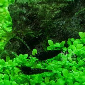 Gamba Neocaridina Black Sakura