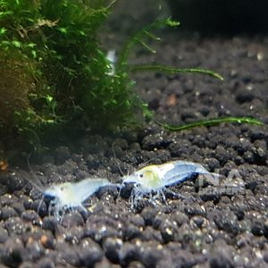 Gamba Neocaridina Snow Ball