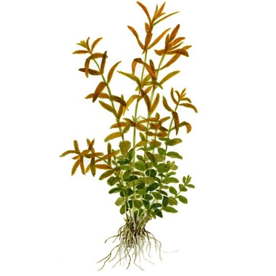 Planta Rotala Rotundifolia