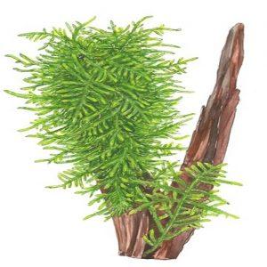 Planta Spiky Moss