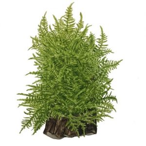 Planta Taiwan Moss