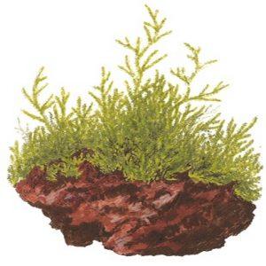 Planta Taxiphyllum Barbieri