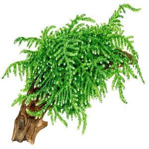 Planta Vesicularia Ferriei